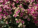 Phlox Mikes Choice