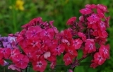 Phlox Watermelon Punch